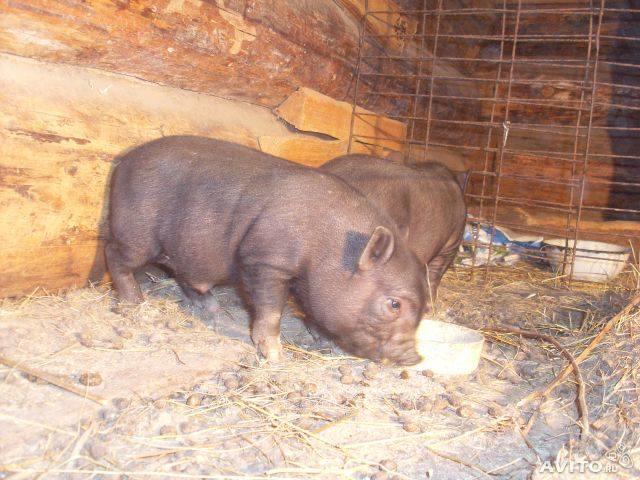 Зеленый картофель ядовит для свиней