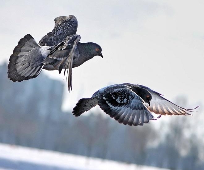 Голуби подвержены множеству заболеваний