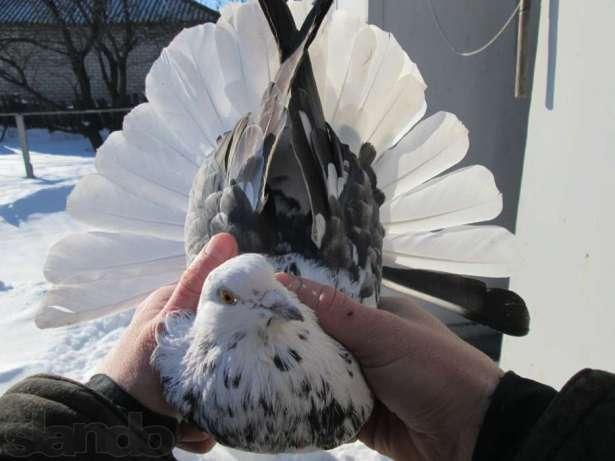 Хвост николаевского голубя