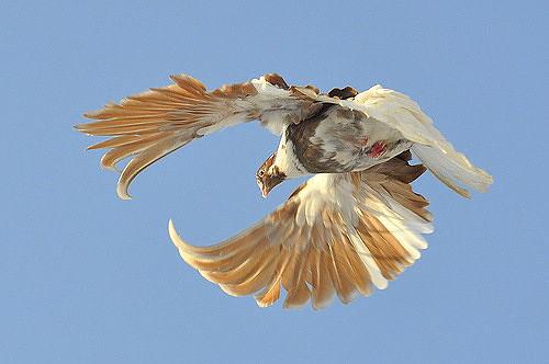 Полет тренированного голубя