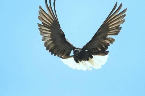 Так летает нетренированный голубь этой породы