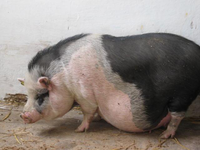 Свинью необходимо подготовить к родам