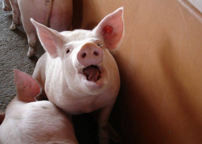 Паратиф свиней может вызываться некачественным кормом