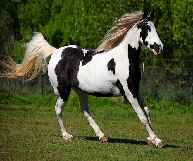 Скакун Товеро черно-белый с белой гривой