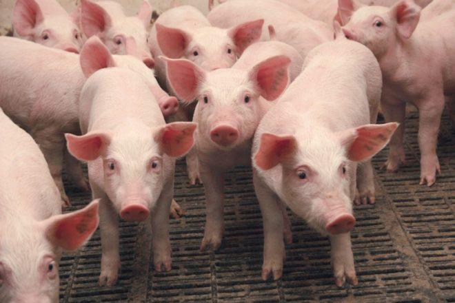 Глисты и неправильное питание могут отбить аппетит у свиней
