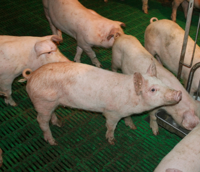 Заболевания свиней вызывают отсутствие аппетита
