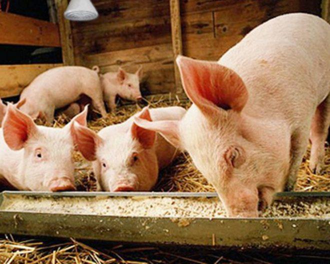 Падение свиней на задние ноги говорит о болезни