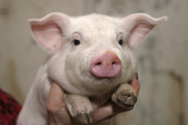 Температура у свиньи
