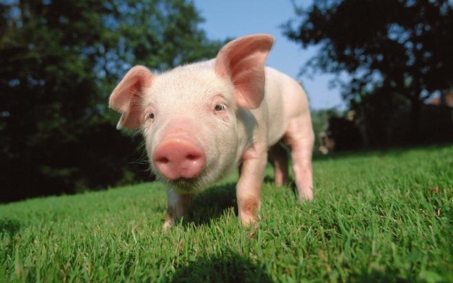 Температура у свиньи как индикатор