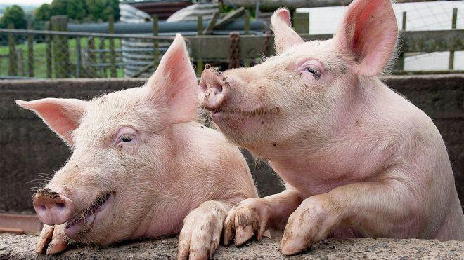Особенности замера температуры у свиньи