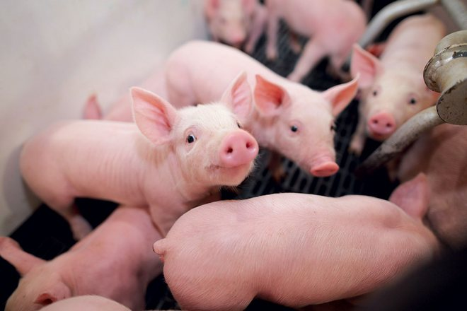 Причины повышения температуры у свиней