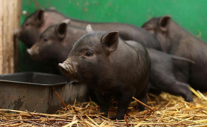 При повышенной температуре у свиньи обращайтесь к ветеринару