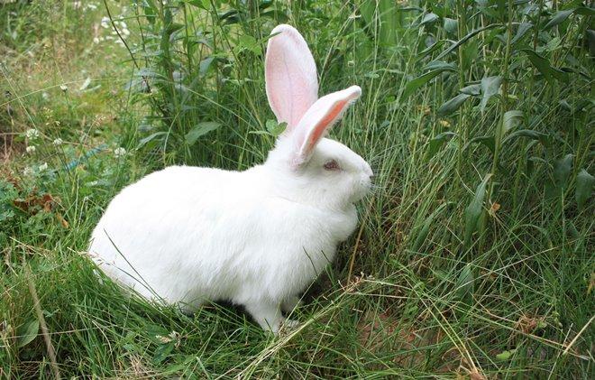 Кролика ризен держат в качестве домашнего питомца