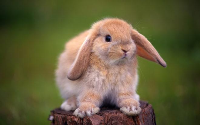 Приучить кролика к лотку не трудно