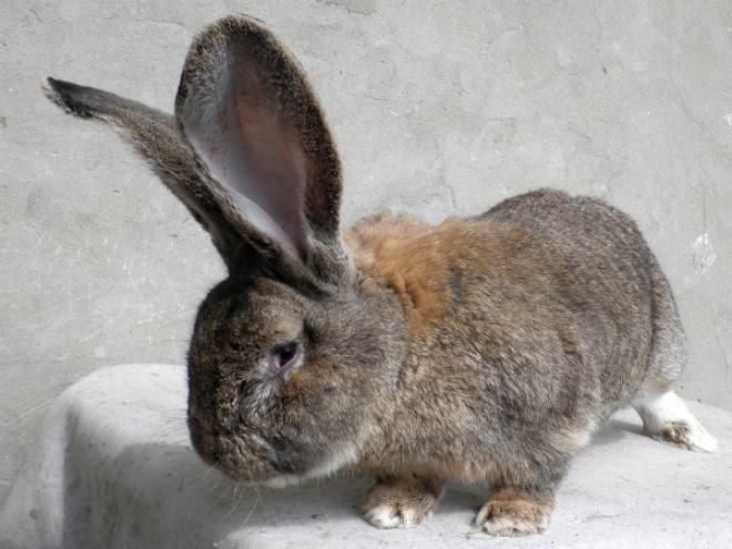 Кролик ризен нуждается в сбалансированном питании