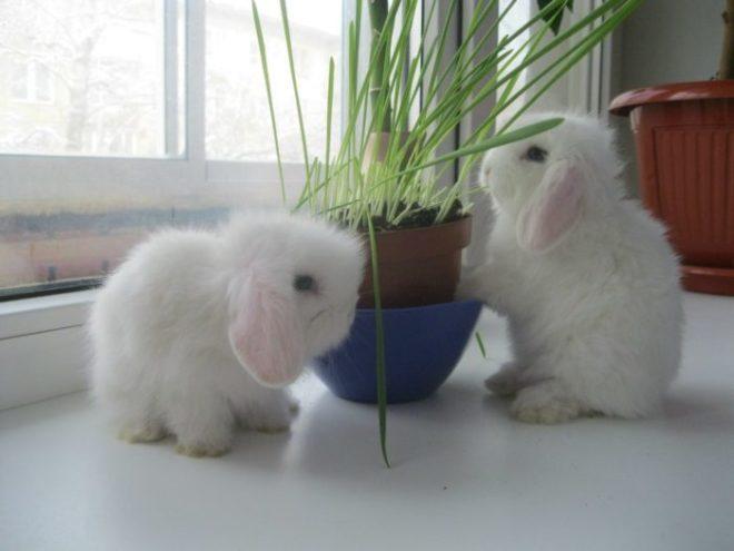 Гермелины любят траву