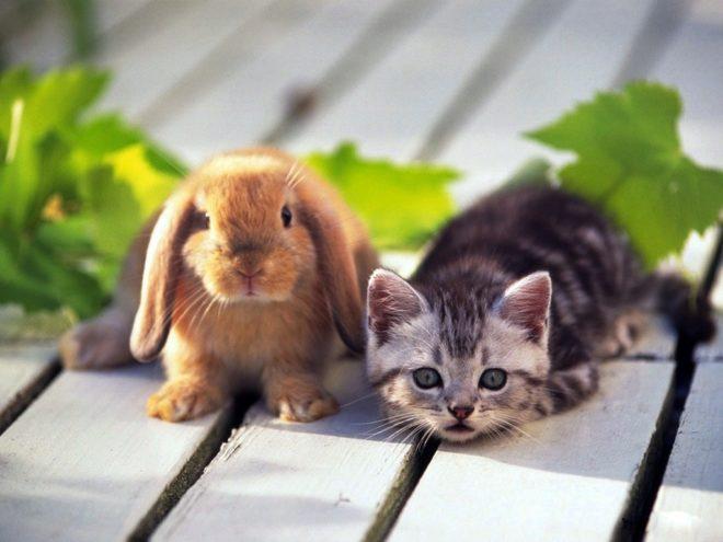Кролик агрессивно себя ведет, защищаясь от кота