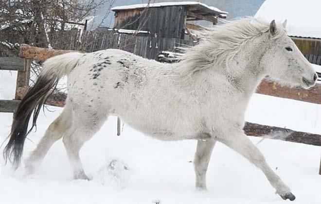 Алтайская порода поддавалась селекции
