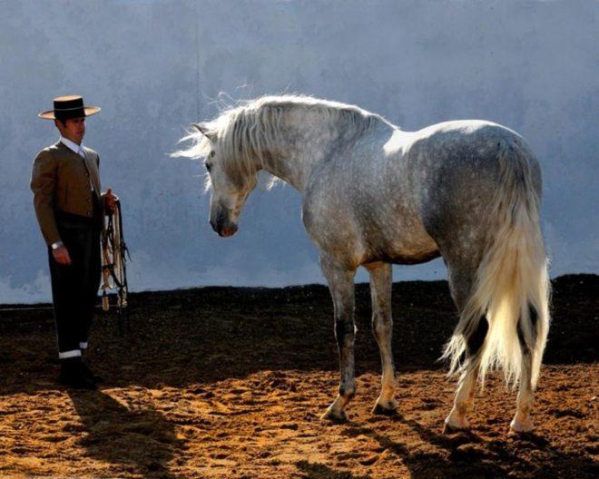 Андалузские лошади нуждаются в тренировке