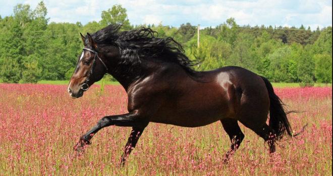 Испанские лошади использовались монархами Европы