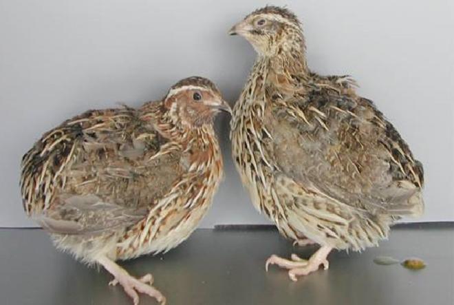 Птица может травмировать друг друга