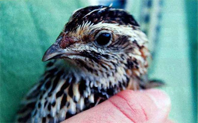 При кормлении птицы необходимо добавлять в рацион витамины