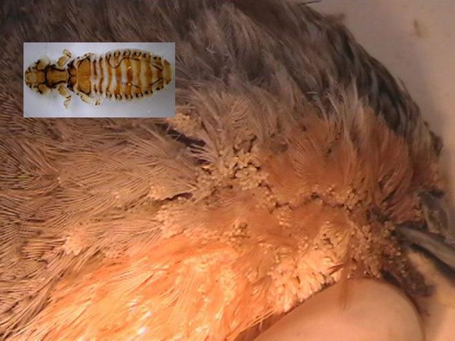 Борьбу с паразитами надо начинать сразу после выявления заражения птицы