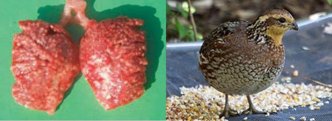 Из-за некачественного корма птица может заболеть аспергиллезом.