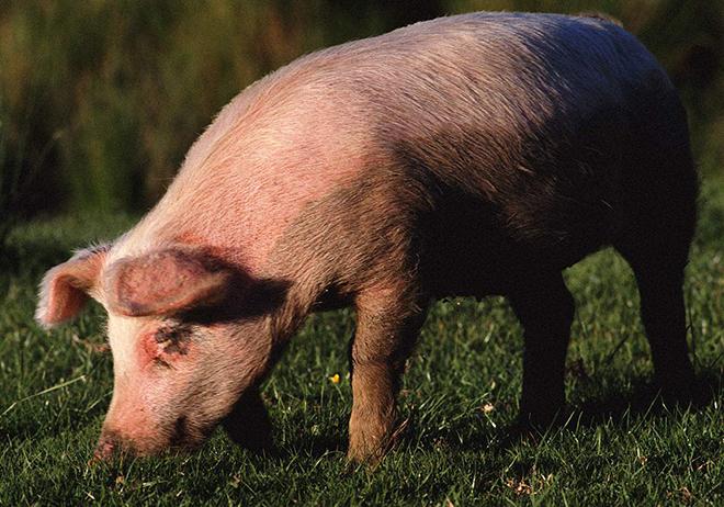 Отравление свиньи устанавливает и лечит ветеренар