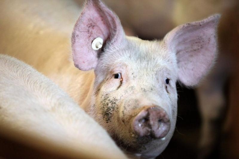Чесотка у свиней возникает при заражении клещом