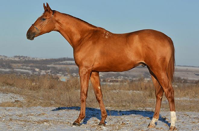 Донская порода была основой при выведении буденновской лошади