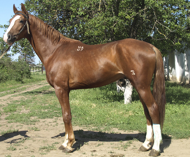 Благодаря крови чистокровок буденновский конь выглядит грациозным