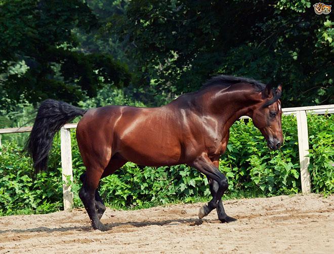 Чистокровная верховая лошадь очень быстра