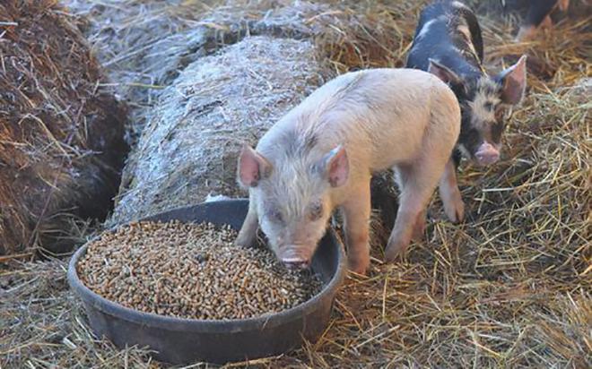Перед забоем свиней надо откормить