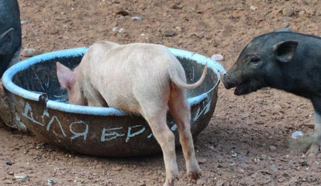 В сезон допустим выпас свиней