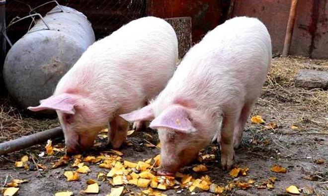 Для набора веса свиней кормят тыквой