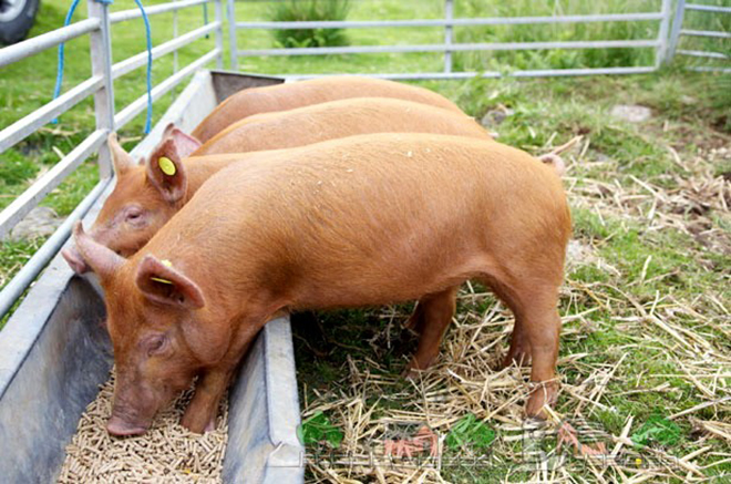 От питания свиньи зависит качество мяса и сала