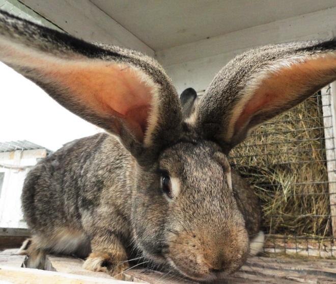 Порода кроликов ризен самая большая в мире
