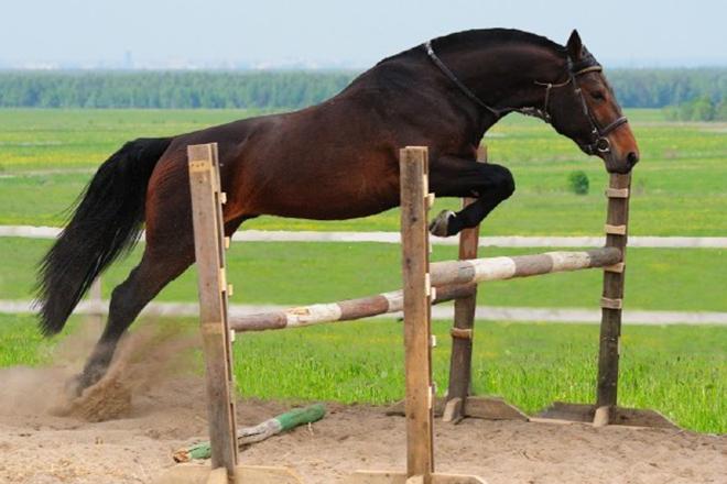 Стоимость гнедых коней высокая