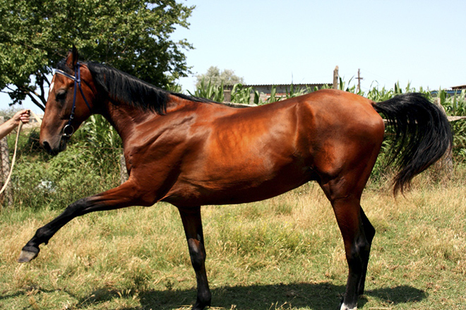 Гнедая лошадь имеет коричневый окрас шерсти