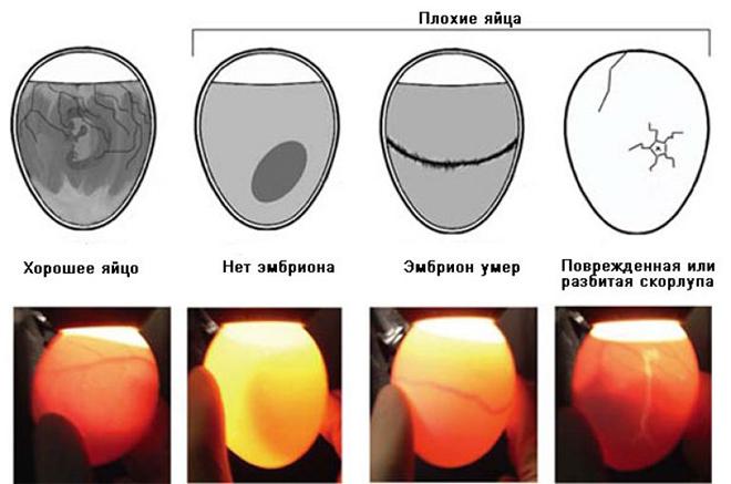 Перед инкубацией проводится просвет яиц