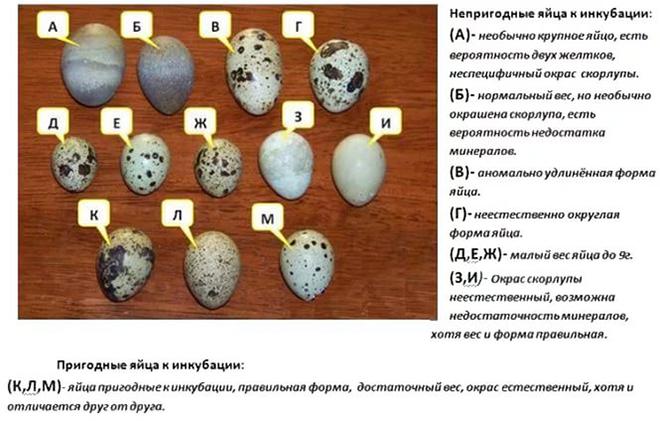 Перед инкубацией яйца надо рассмотреть