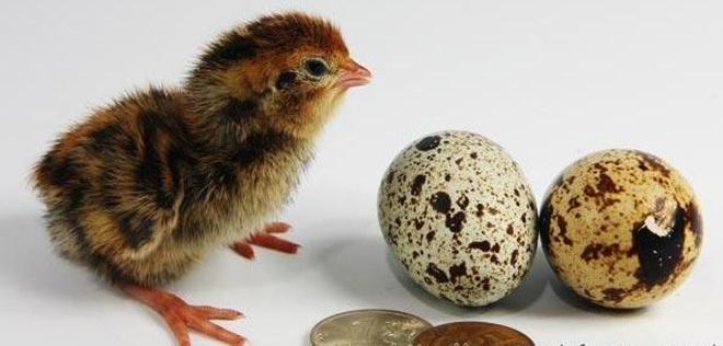 Для вылупления птенцов нужен инкубатор