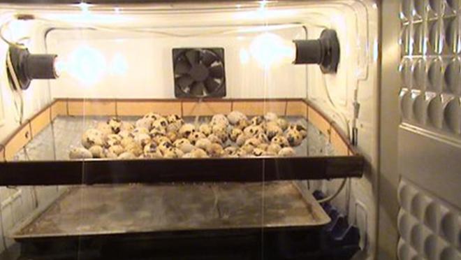 Инкубация влияет на развитие птенцов