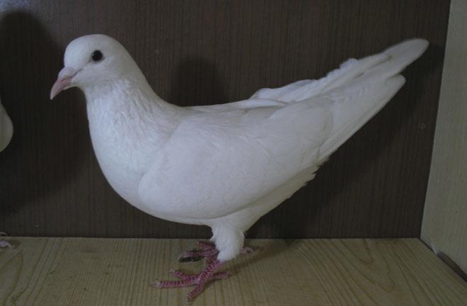 Иранские голуби имеют аккуратное строение тела.