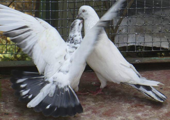 Иранские голуби должны выгоняться дважды в неделю