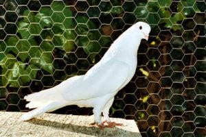 Тегеранские голуби