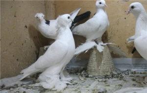 Тебризкие голуби