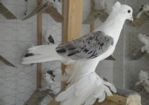Хамаданские голуби