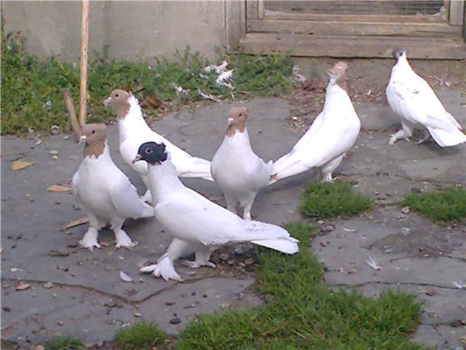 Иранские голуби красивы и выносливы